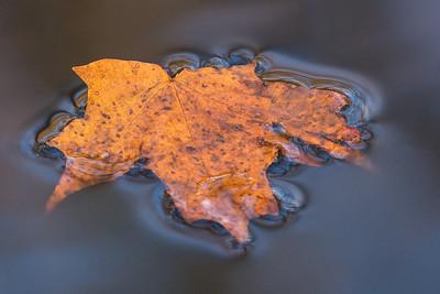"AUTUMN 01695  ""Fallen Maple Leaf"""