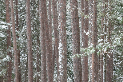 """Gunflint Trail Pines"""