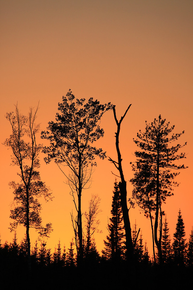"FOREST 0180<br /> <br /> ""Fire in the sky II""<br /> <br /> While driving down an old logging road off the Arrowhead Trail one evening, I came across this opening that had a grouping of trees that stood out nicely against the sky.  I was passing by right after the sun had gone down and the sky behind the trees was filled with this beautiful orange glow."