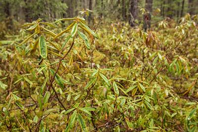 "FOREST 2712  ""Swamp Tea""  Labrador Tea near the Gunflint Trail in northern Minnesota."