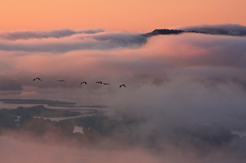 Pelicans flying up the Mississippi River Valley at dawn.