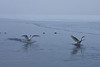 Snow Geese landing on the St. Croix River.