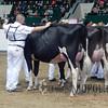 MN_SF_HolsteinCows15_ 012