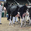 MN_SF_HolsteinCows15_ 029