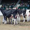 MN_SF_HolsteinCows15_ 014