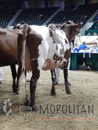 MN State Fair Milking Shorthorn Cows 2015