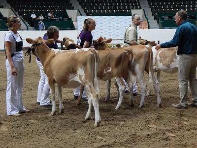 Minnesota State Fair Guernsey Heifers 2015