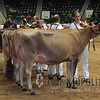 MN_SF_JerseyCows15_ 015
