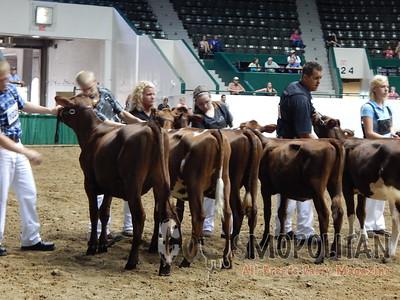 Minnesota State Fair Milking Shorthorn Heifers 2015