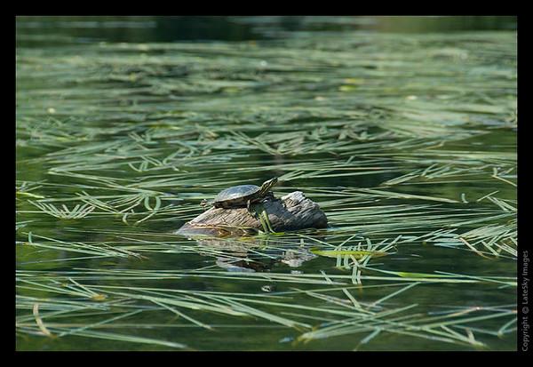 148T Painted Turtle on Deadhead