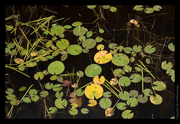 164 Lilly Pad Display