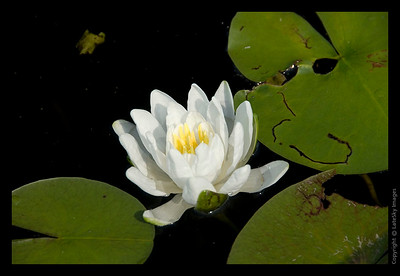 152 Water Lily
