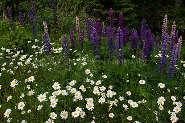 Cook County, MN, Oxeye Daisys and Lupines,
