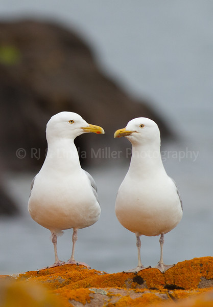 Cook County, MN, Lake Superior Sea Gulls