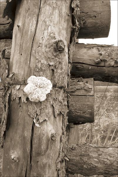 <font size=+2>Fence Post</font>  Oliver H. Kelley Farm Minnesota Historical Society Elk River, Minnesota <font size=-2>(2-20003)</font>