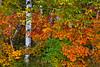 Closeup of fall foliage color along the north shore of Lake Superior, Minnesota, USA.