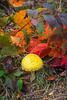 An Amanita muscaria wild mushroom in Temperance River State Park, Minnesota, USA.