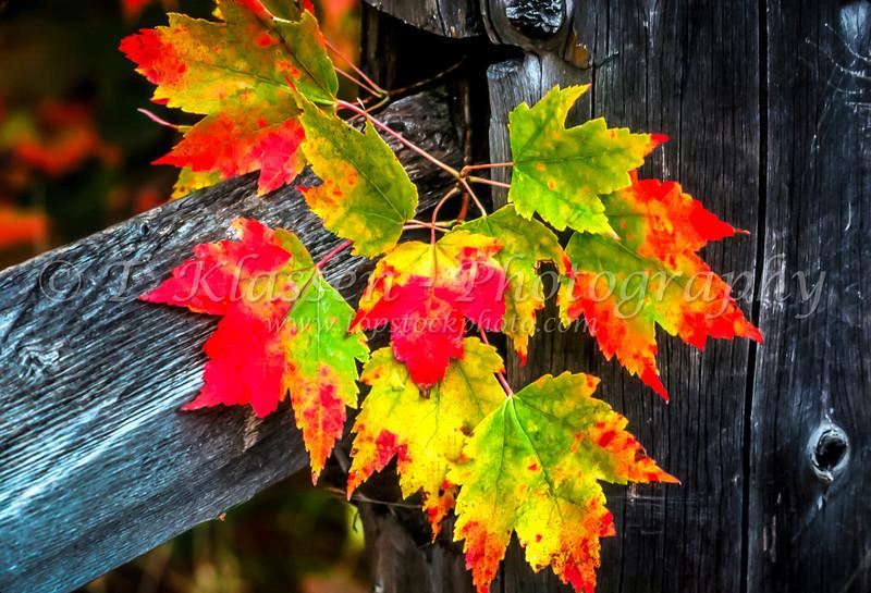 Fall foliage maple leaves and a rustic fence along the north shore of Lake Superior, Minnesota, USA.