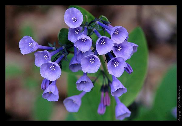 L26 Virginia Bluebells