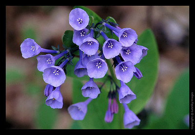 L26 Virginia Bluebells