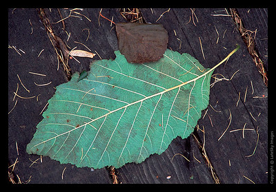 L11 Basswood Leaf on Boardwalk