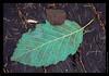 L11 Basswood Leaf on Boardwalk