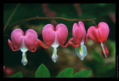 L02 Bleeding Heart Quartet