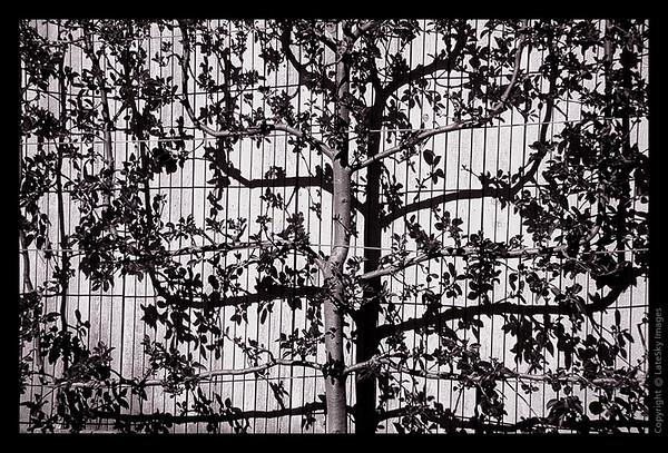 L26 Tree Shadow