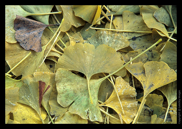 L49 Ginko Leaves