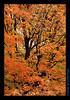 L14 Orange Leaves