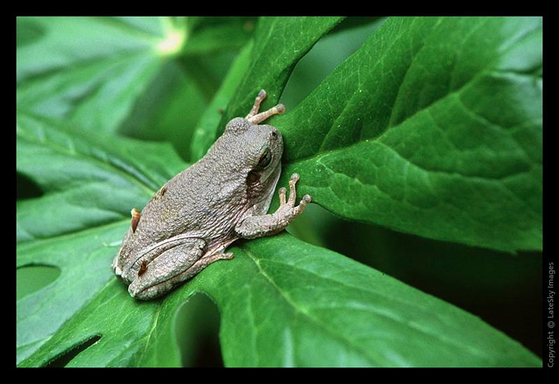 L04 Tree Frog