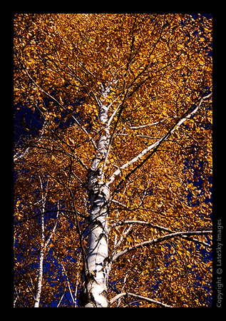 L09 Golden Birch