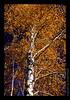 L09 Golden Birch