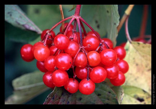 L06 American Cranberries