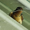 Barn swallow nest building