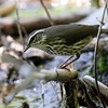 Northern waterthrush, which is a warbler and not a thrush