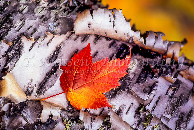 Close up of a red maple leaf caught in a white birch bark trunk in the forests of Minnesota, USA.