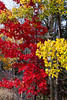 Fall foliage color in the deciduous forests of northern Minnesota, USA.