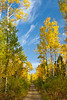 Fall foliage color in the aspen forests of Northern Minnesota, USA.
