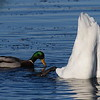 Mallard & trumpeter swan butt