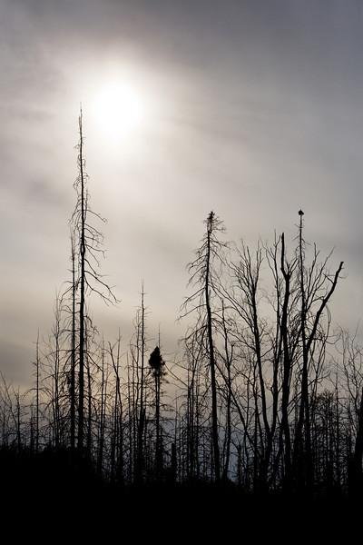 Ghost Trees<br /> <br /> Iron Lake<br /> Gunflint Trail, Minnesota<br /> (5-12492)