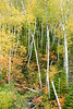 Leaning Birch<br /> <br /> Along the North Shore<br /> Minnesota<br /> (5-08786)