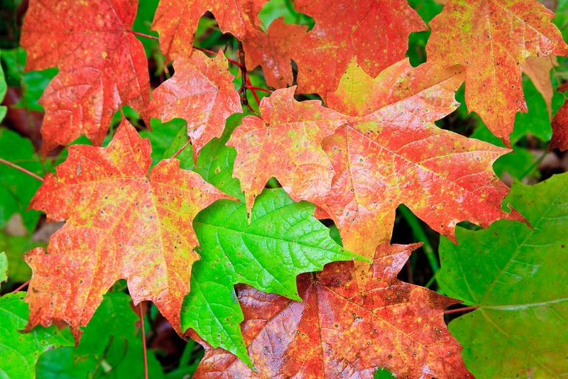 Autumn Leaves<br><br>Grand Portage, Minnesota<br>(5II-06247)