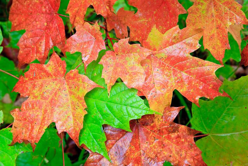 Autumn Leaves<br><br>Grand Portage, Minnesota<br>(5II-06247)
