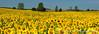 Sunflower fields near Brandon, Minnesota, USA