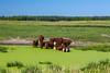 Cattle in a water pond near Park Rapids, Minnesota, USA.