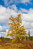 A large golden tamarack tree in the roadside forest along Highway 2 in northern, Minnesota, USA.