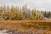 First snowfall with golden tamarack trees and pine forests along Highway 2 in northern Minnesota, USA.