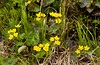 The yellow Marsh Marigold wildfowers blooming in the spring in Itasca State Park, Minnesota, USA, America.