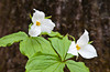The white trillium wildflower in spring in the Itasca State Park, Minnesota, USA, America.